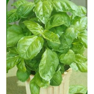 Letuce Leaf