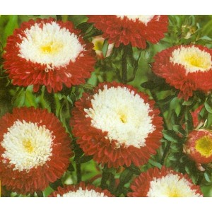 Pompon red and white