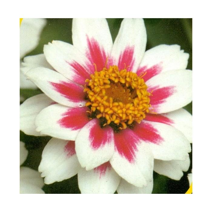 Zahara starling Rose