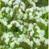 Věncovka - bílá