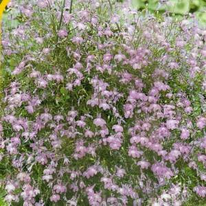 Lila - světle fialová
