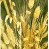 Okrasné trávy k sušení