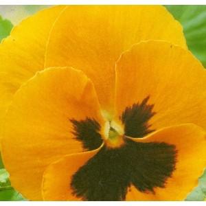 Maceška - Oranžová s okem