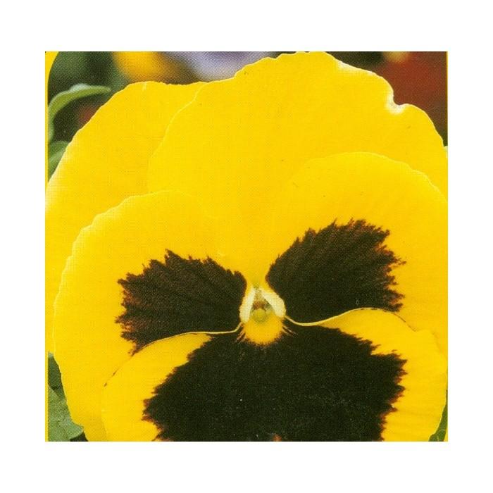 Maceška - Žlutá s okem