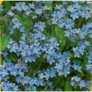 Pomněnka lesní - Modrá