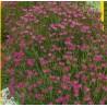 Hvozdík kropenatý - Maide pink