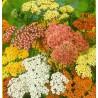Řebříček obecný - Summer pastels