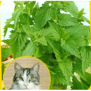 Šanta kočičí - Cat Grass - Nepeta