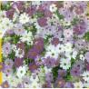 285.  Všelicha iberkolistá / Brachycome iberidifolia