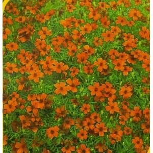 1.  Aksamitník - Červený  /  drovnokvětý