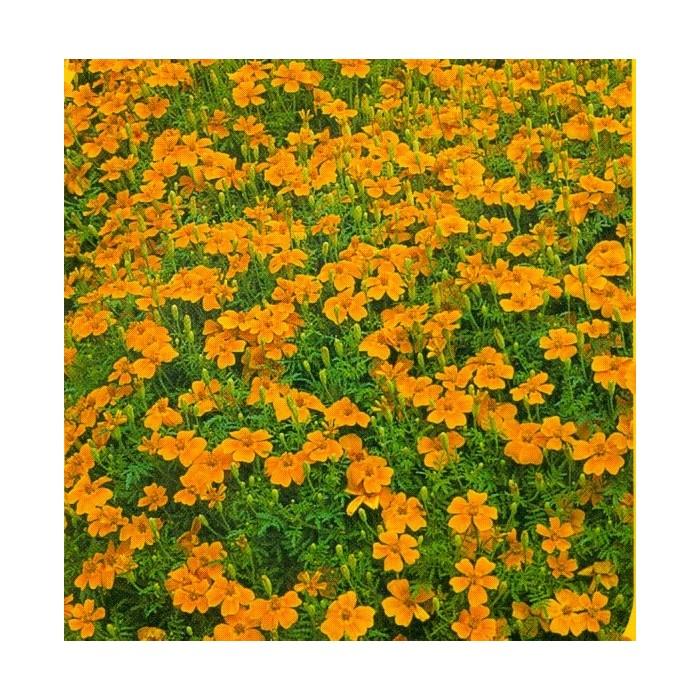 2.  Aksamitník Oranžový  /  drobnokvětý