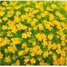 3.  Aksamitník Žlutý  /  drobnokvětý