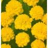 7.  Aksamitník Petit žlutý / rozkladitý