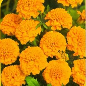 8. Aksamitník Petit oranžový  /  rozkladitý