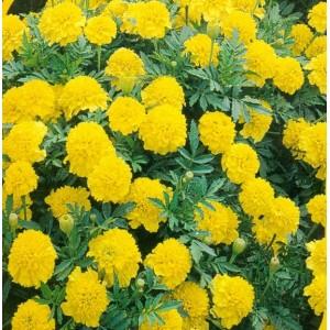 10.  Aksamitník, Lemon drop  /  rozkladitý