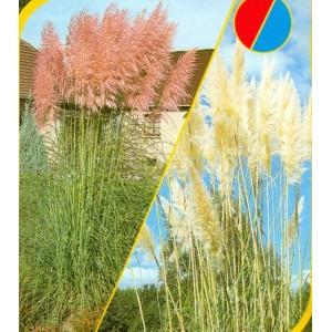 Kortadérie - Pampová tráva