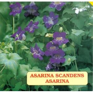 Asarina modrofialová, letnička