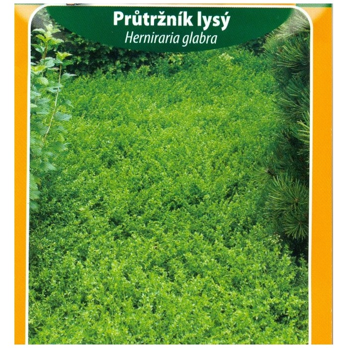 Průtržník lysý / Herniraria glabra