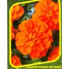 Akamitník - Bonanza Deep Orange
