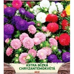 Astra nízká, chryzantémokvětá, MIX