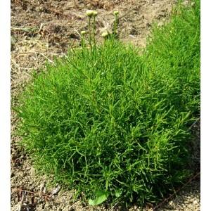 Olivové koření, Santolina viridis