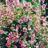 Růžový stromek, Anisodontea capensis
