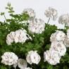 31. peltatum, White Pearl