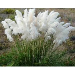 Kortadérie, Pampová tráva bílá