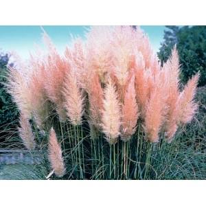 Kortadérie, pampová tráva, růžová