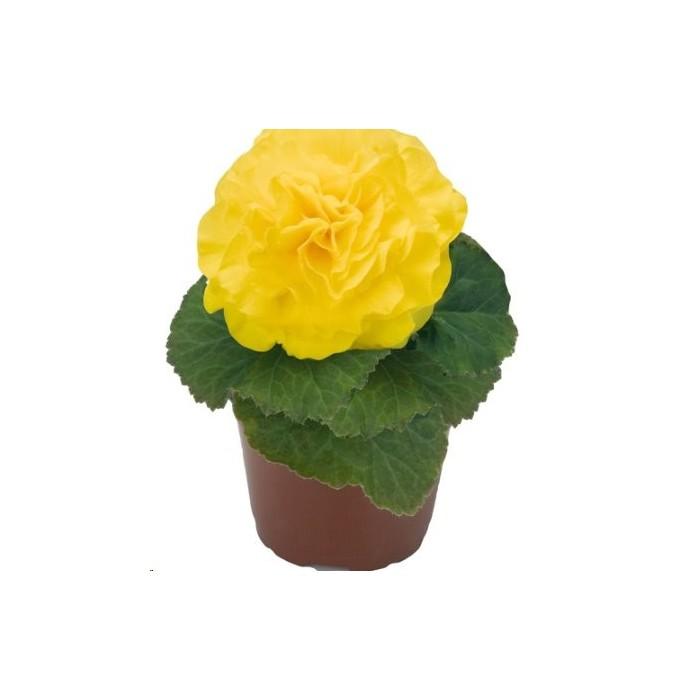 2. Mocca Yellow