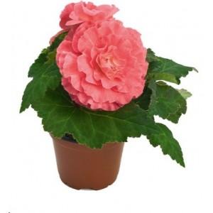3. Mocca Pink