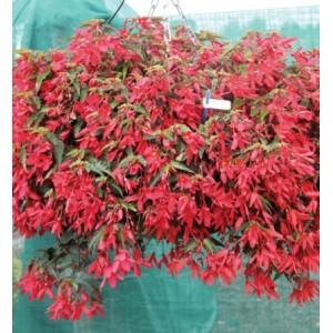 21.  Bolívijská begonie červená