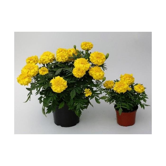 1. Aksamitník Žlutý