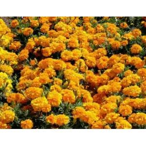 2 Aksamitník Oranžový