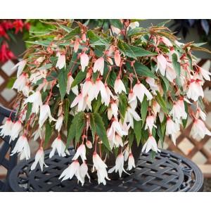 19. Bolívijská begonie bílá