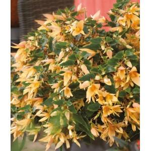 20. Bolívijská begonie žlutá