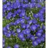Zvonek karpatský, modrý