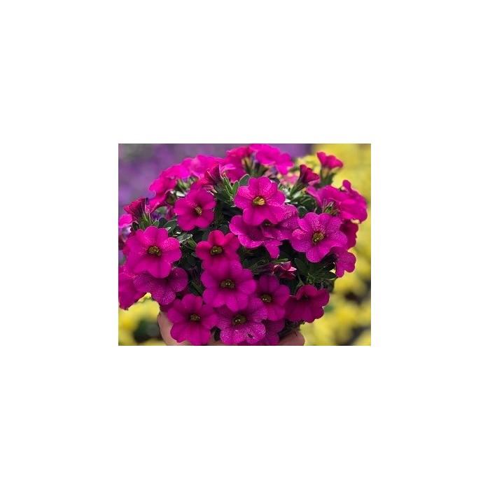 4. Růžová, košatá