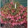 20. Bolívijská begonie růžová