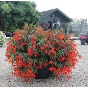 23.  Bolívijská begonie červená