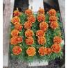 4. Aksamitník Oranžovo červený